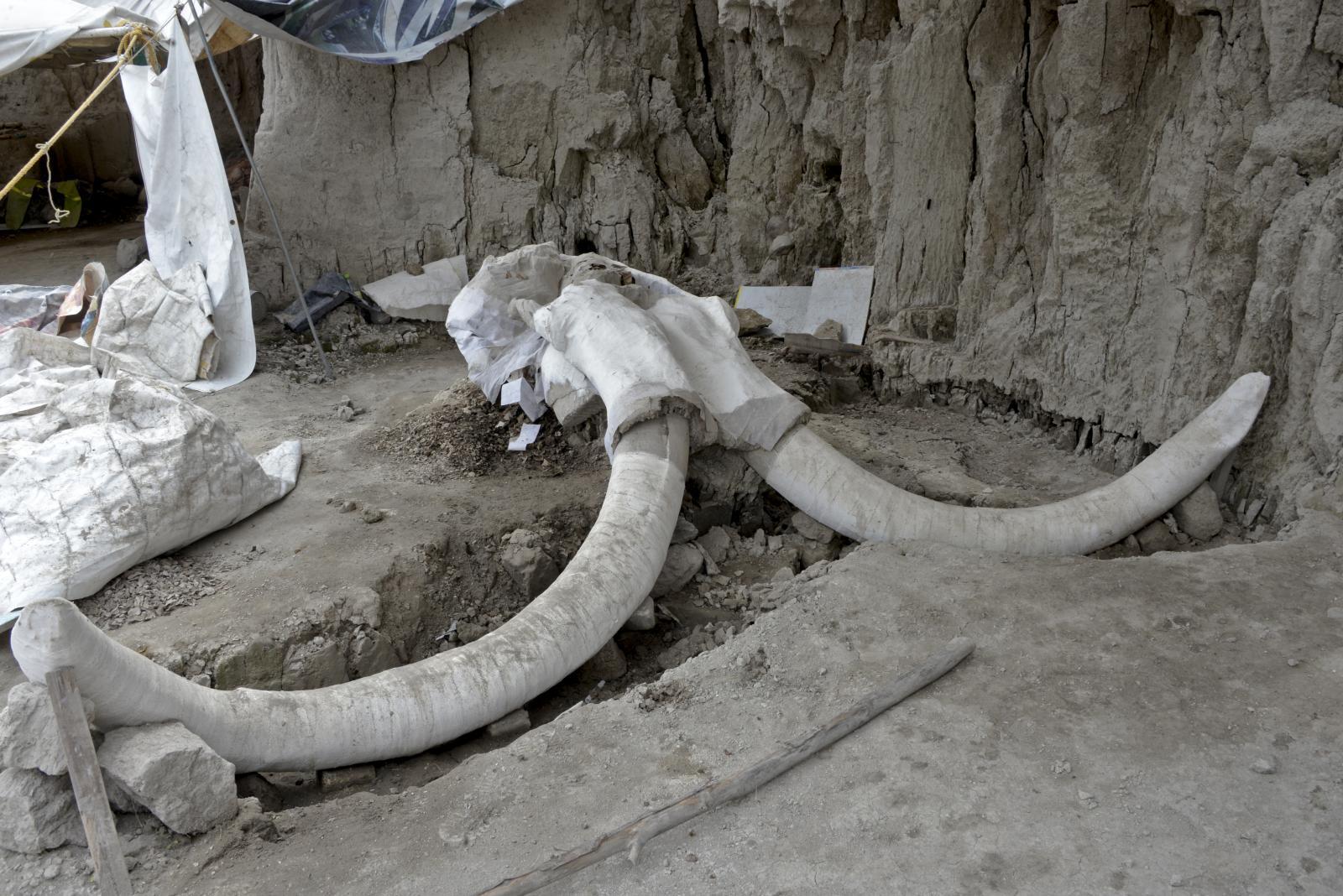 """พบโครงกระดูก """"ช้างแมมมอธ"""" 14 ตัว มากสุดในเม็กซิโก คาดโดนกับดักมนุษย์โบราณ"""