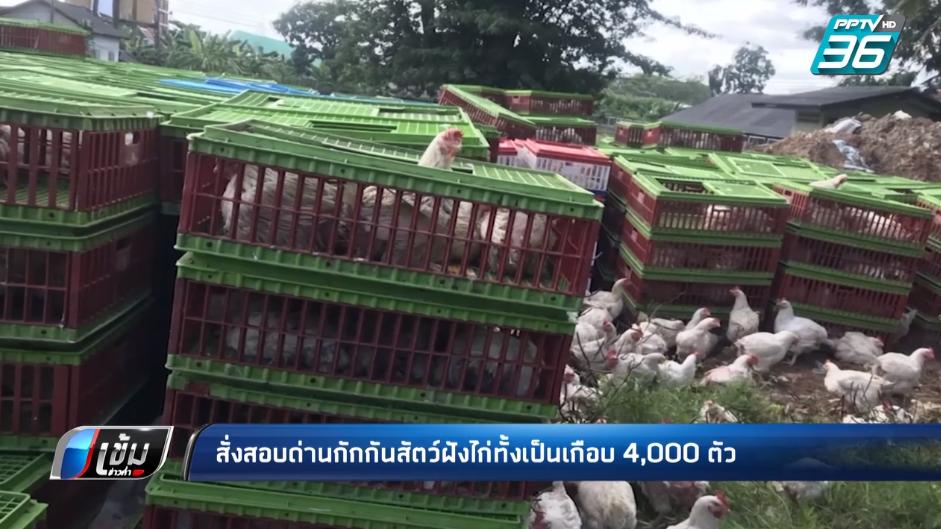 สะเทือนใจ! กรมปศุสัตว์ สั่งสอบด่านกักกันสัตว์ฝังไก่ทั้งเป็น 4,000 ตัว ไม่การุณยฆาตก่อน