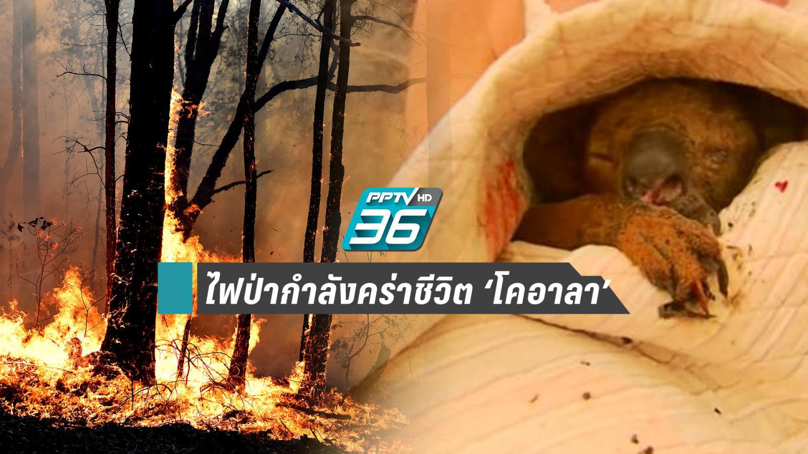 ไฟป่าออสซี่คร่าชีวิต 'โคอาลา' กว่า 350 ตัว อีก 1 ตัว โอกาสรอด 50%