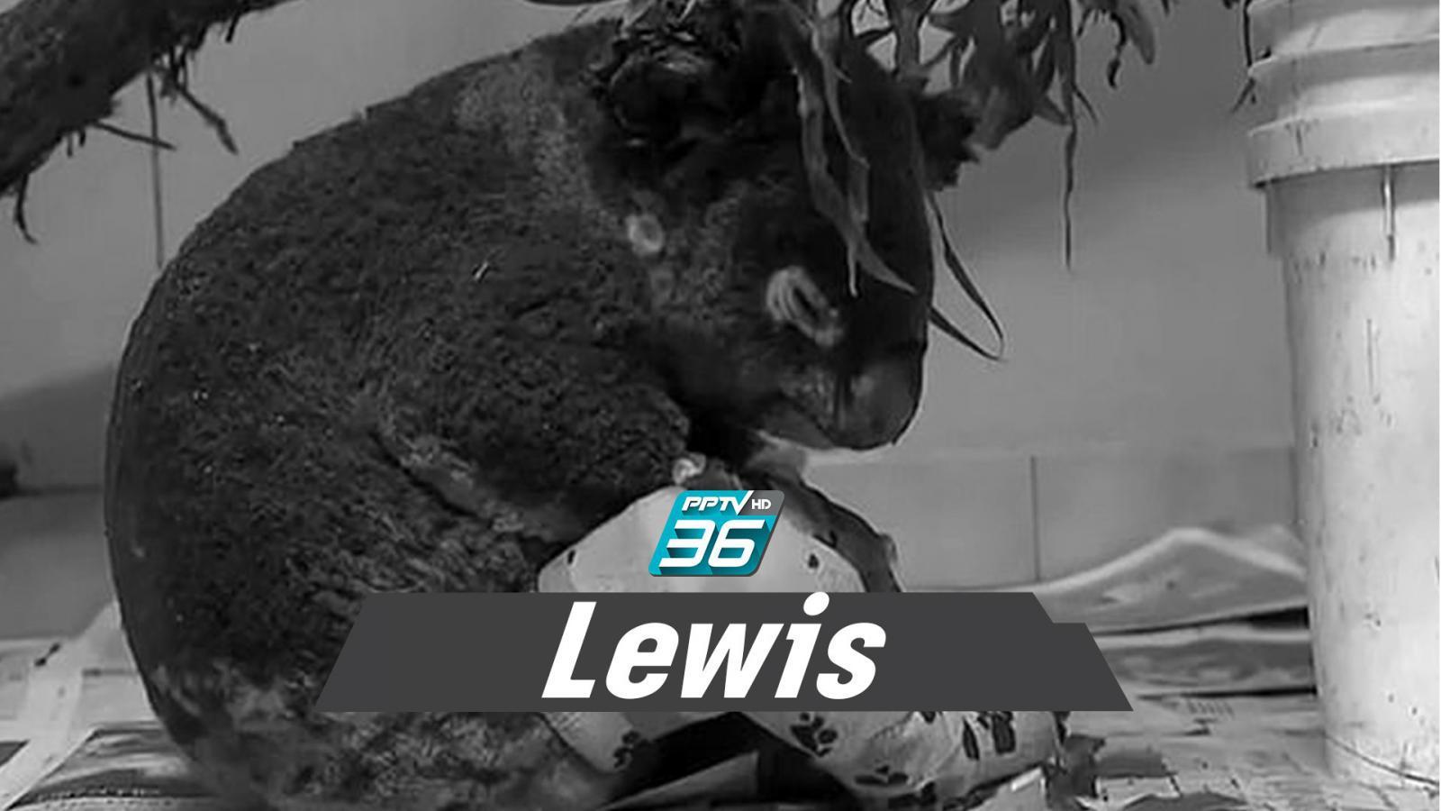 """โคอาลา """"Lewis"""" จากไปแล้ว! หมอจำใจการุณยฆาต ไม่ให้ทรมาน"""