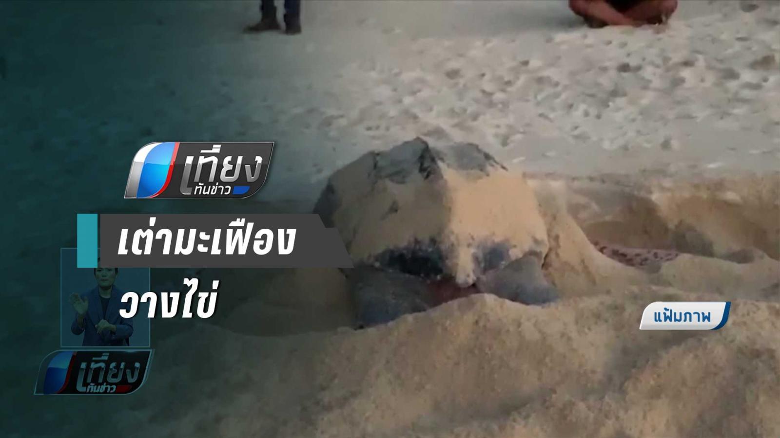 เต่ามะเฟือง 2 ตัว ขึ้นวางไข่หาดท้ายเหมือง