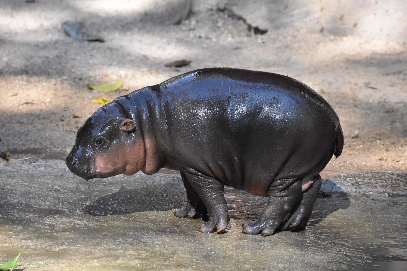 สวนสัตว์เขาเขียวเผยโฉม 'ลูกฮิปโปแคระ' เพศผู้ 1 เดือน ชวนตั้งชื่อชิงรางวัล