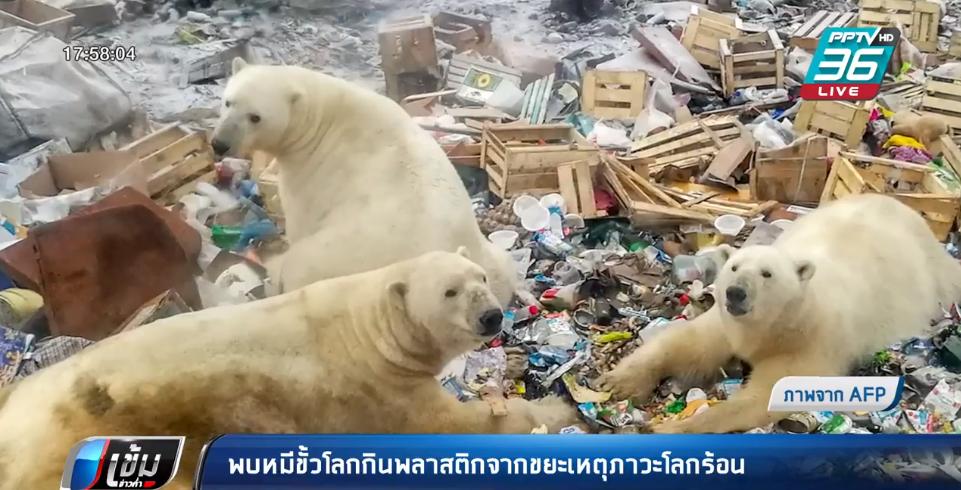พบหมีขั้วโลกกินพลาสติกจากขยะเหตุภาวะโลกร้อน