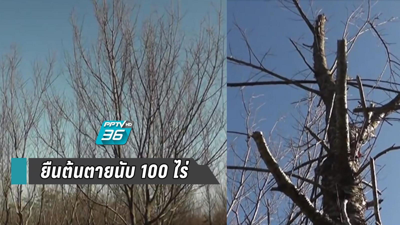 """""""ซากุระเมืองไทย"""" ยืนต้นตายนับ 100 ไร่"""