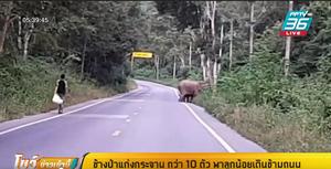 ช้างป่าแก่งกระจาน กว่า 10 ตัว พาลูกน้อยเดินข้ามถนน