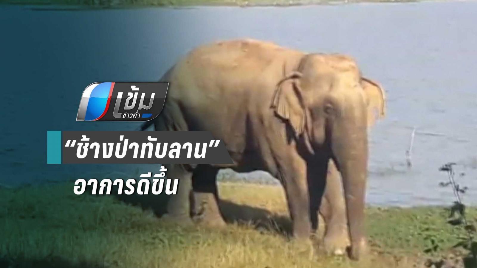 """""""โยโย่"""" ช้างป่าอาการดีขึ้น หลังพบบาดแผลลำตัว"""