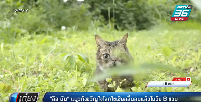 """""""ลิล บับ"""" แมวดังขวัญใจโลกโซเชียลสิ้นลมแล้วในวัย 8 ขวบ"""