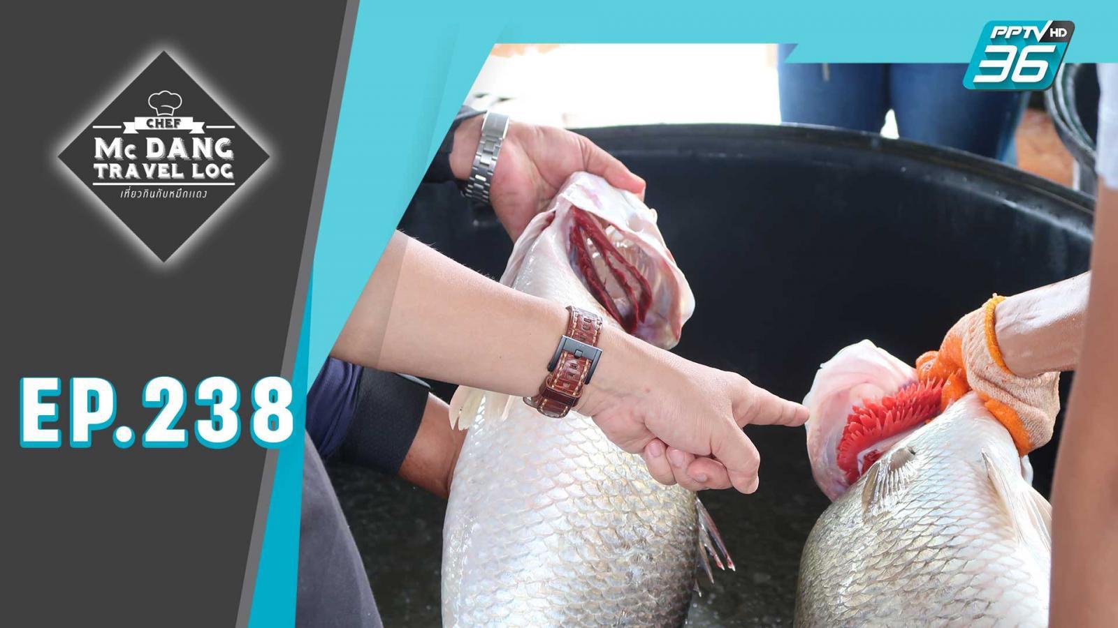 ฉะเชิงเทราแหล่งใหญ่ปลากะพง