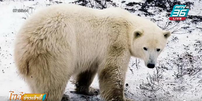 หมีขั้วโลกกว่า 50 ตัวบุกหมู่บ้านรัสเซีย