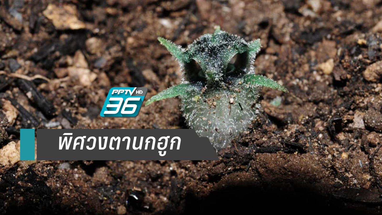 """สมาคมพฤกษศาสตร์ฯเผยความน่ารักพืชชนิดใหม่ """"พิศวงตานกฮูก"""""""