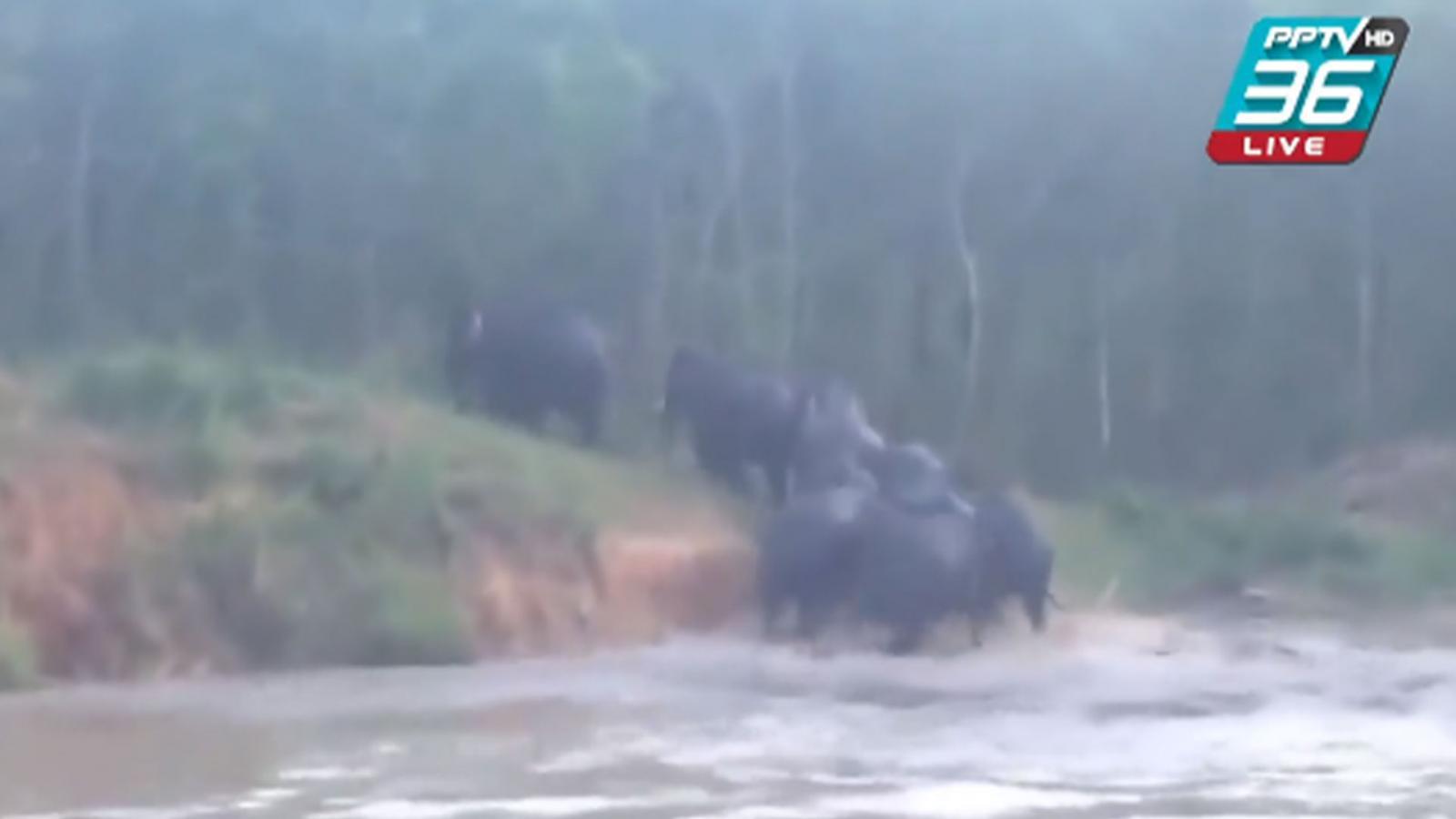ช้างป่าภูหลวงไล่เหยียบหญิงวัย 51 ปี เสียชีวิต