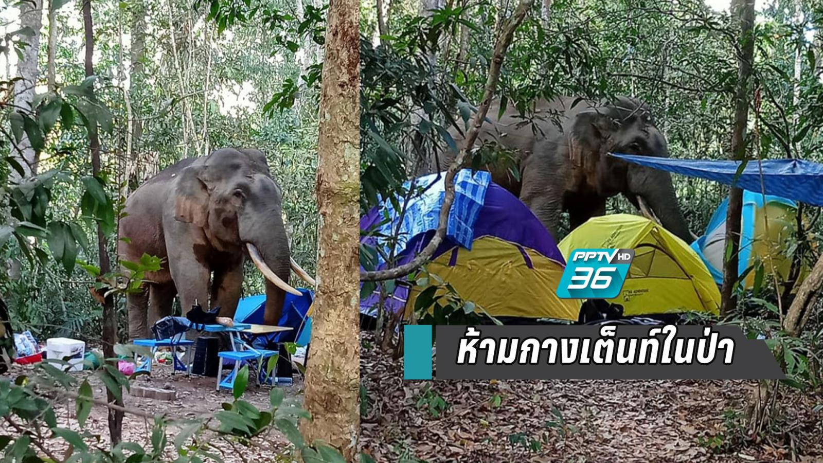 """""""พี่ดื้อ"""" ช้างเขาใหญ่รื้อเต็นท์นักท่องเที่ยว เตือนห้ามกางเต็นท์ในป่า"""