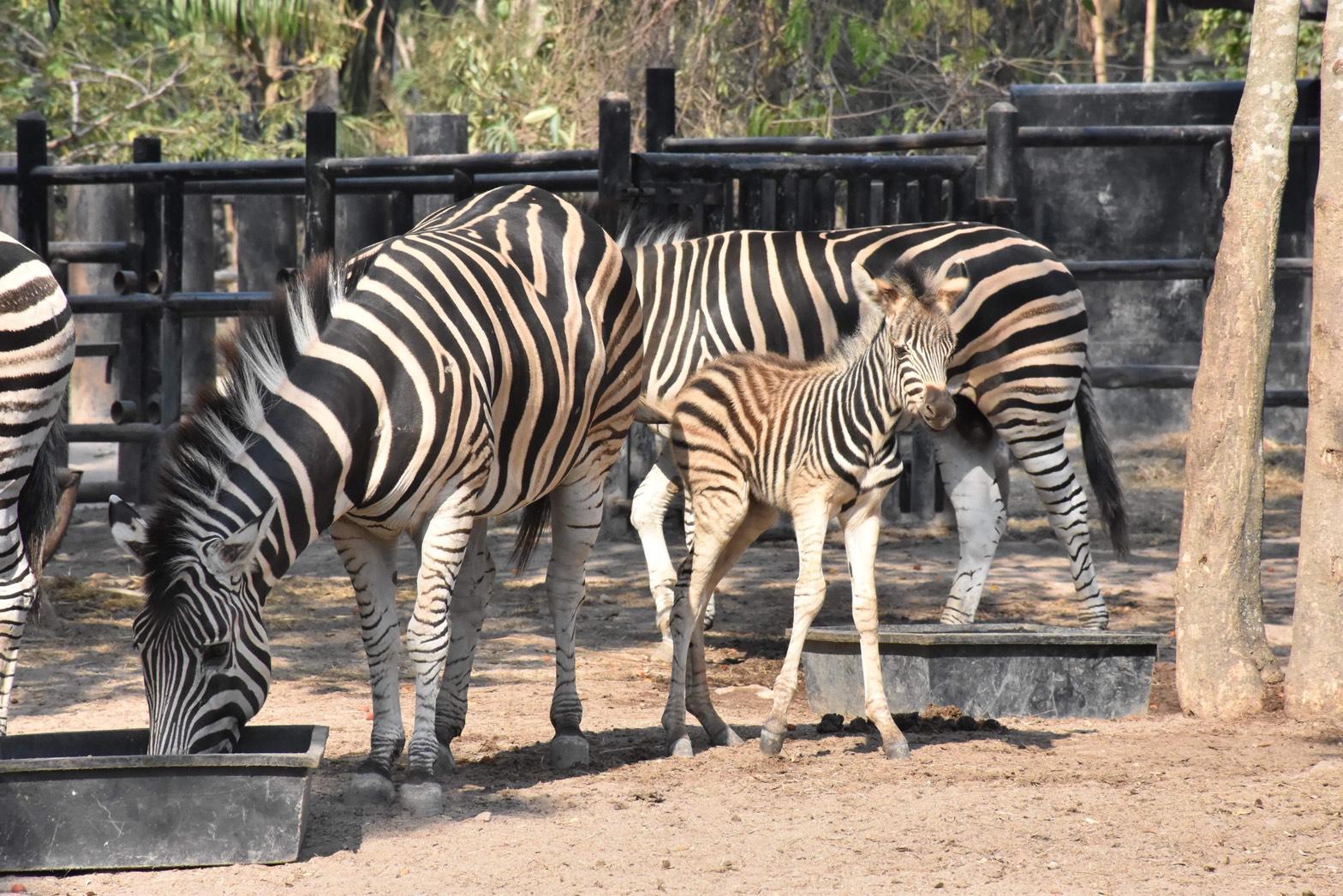 สวนสัตว์เปิดเขาเขียวอวดโฉมลูกม้าลาย  ต้อนรับวันเด็กแห่งชาติ