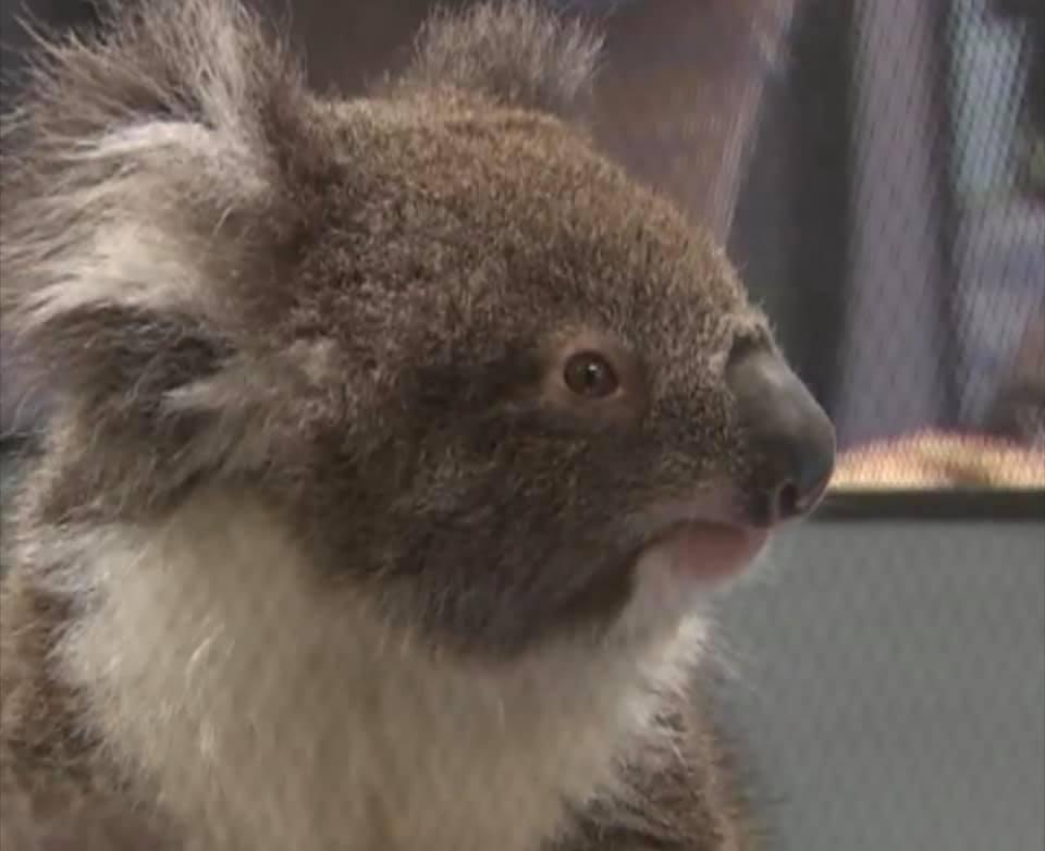 """เปิดภาพศูนย์ช่วยเหลือ """"โคอาลา """" หลังหนีไฟป่าออสเตรเลีย"""