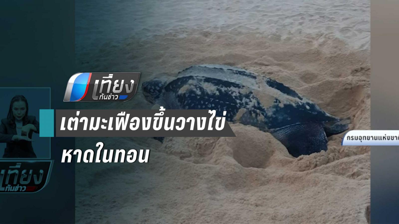 แม่เต่ามะเฟืองขึ้นวางไข่หาดในทอน จ.ภูเก็ต 111 ฟอง จนท.เตรียมย้ายไปที่ปลอดภัย