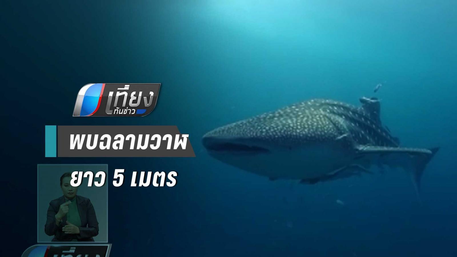 นักดำน้ำพบฉลามวาฬยาว 5 เมตร ชี้ ทะเลสมบูรณ์ขึ้น