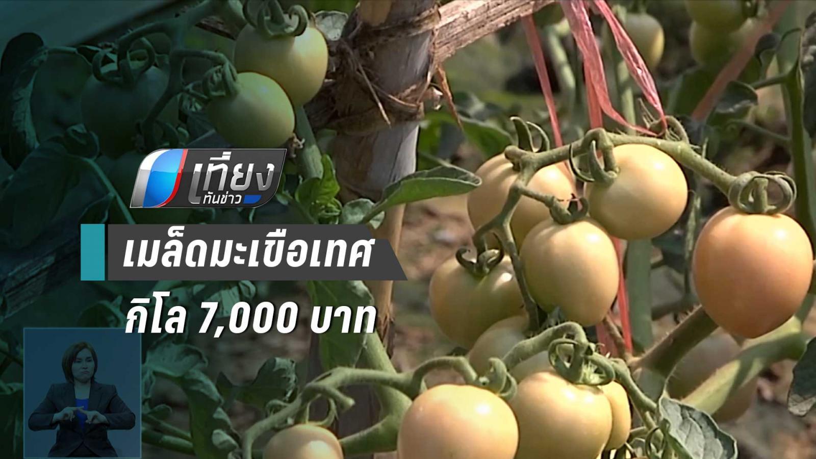 ชาวบ้าน ปลูกมะเขือเทศ ขายเมล็ดตากแห้ง กิโลละ 7,000 บาท