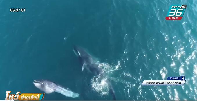 """""""วาฬโอมูระ"""" สายพันธุ์หายาก โผล่หากินเกาะเฮ-เกาะราชาใหญ่"""