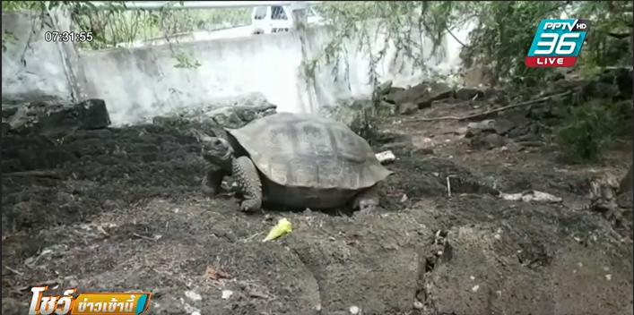 นักวิทย์กาลาปากอส พบเครือญาติเต่ายักษ์ที่สูญพันธุ์ไปแล้ว