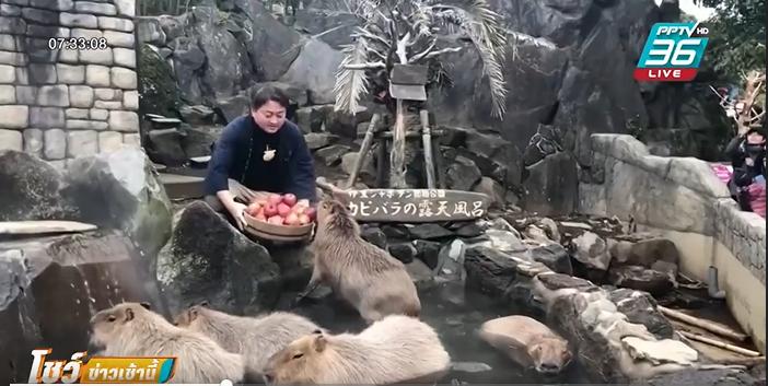 """""""คาปิบารา"""" ดาราชูโรงสวนสัตว์ญี่ปุ่นประจำปีหนู"""
