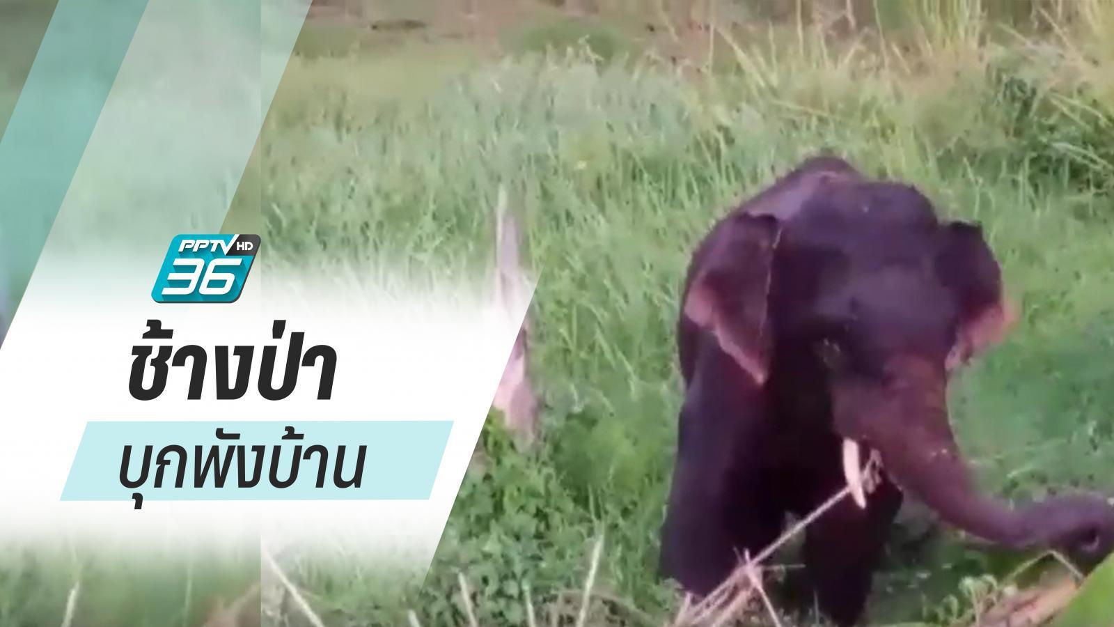 ภัยแล้ง! ป่าไม่มีน้ำ ช้างบุกทำลายไร่-พังบ้าน ทำร้ายสัตว์เลี้ยง