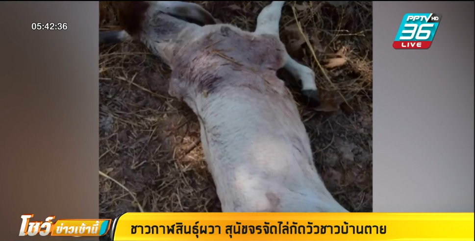 หมาจรจัด รุมกัดลูกวัวอายุ 5 วันตาย