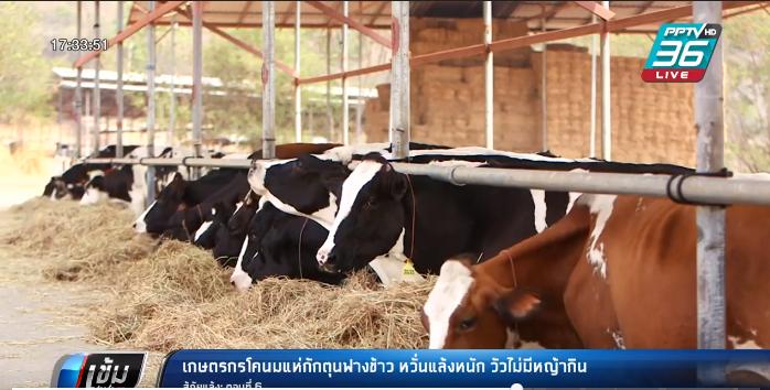 เกษตรกรโคนมแห่กักตุนฟางข้าว หวั่นแล้งหนัก วัวไม่มีหญ้ากิน สู้ภัยแล้ง: ตอนที่ 6