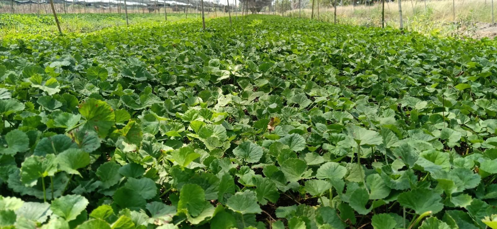 นศ.หอการค้า ปลูกผักออร์แกนิค ผลิตน้ำสมุนไพรดีต่อสุขภาพ สู้โควิด-19