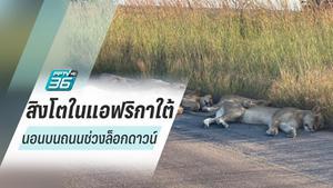 สบาย! สิงโตออกมานอนบนถนนในช่วงที่แอฟริกาใต้ล็อกดาวน์