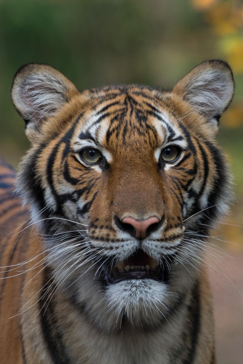 เสือติดโควิด, สิงโตติดโควิด, ไวรัสโคโรนา, โควิด-19, COVID-19, สถานการณ์โควิด-19, สวนสัตว์, ข่าวต่างประเทศ
