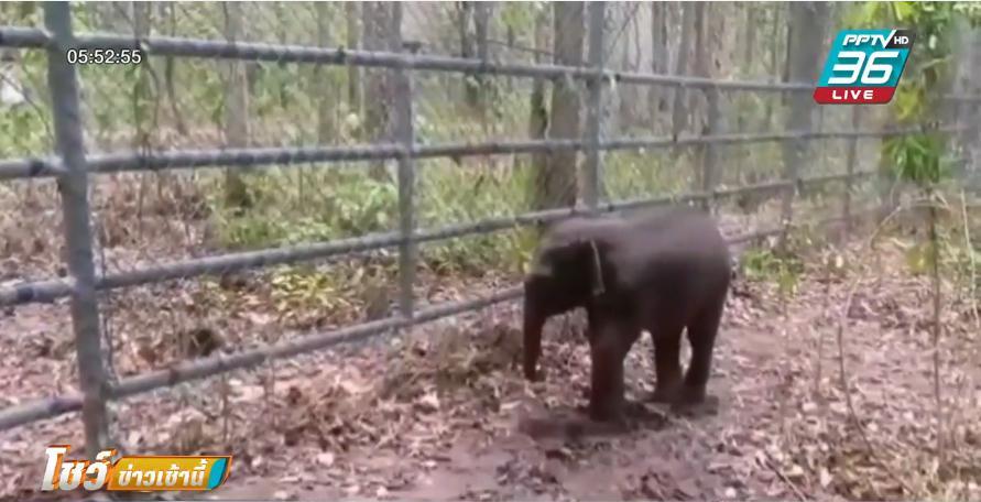 จนท.เร่งช่วย ลูกช้างป่า หลงฝูงให้กลับเข้าฝูงโดยเร็ว