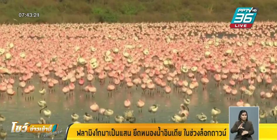 """ธรรมชาติฟื้นตัว """"นกฟลามิงโก"""" นับแสนตัวเข้ายึดหนองน้ำ ในมุมไบ"""