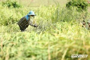 เร่งเกษตรกรผู้ปลูกพืช ตรวจสอบสิทธิ์ลงทะเบียน เยียวยา 5,000 บาท