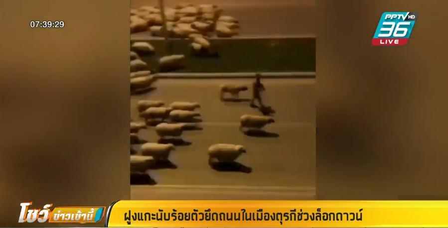 แกะหลายร้อยตัว เดินเล่นเล็มหญ้าในเมือง ช่วงล็อกดาวน์