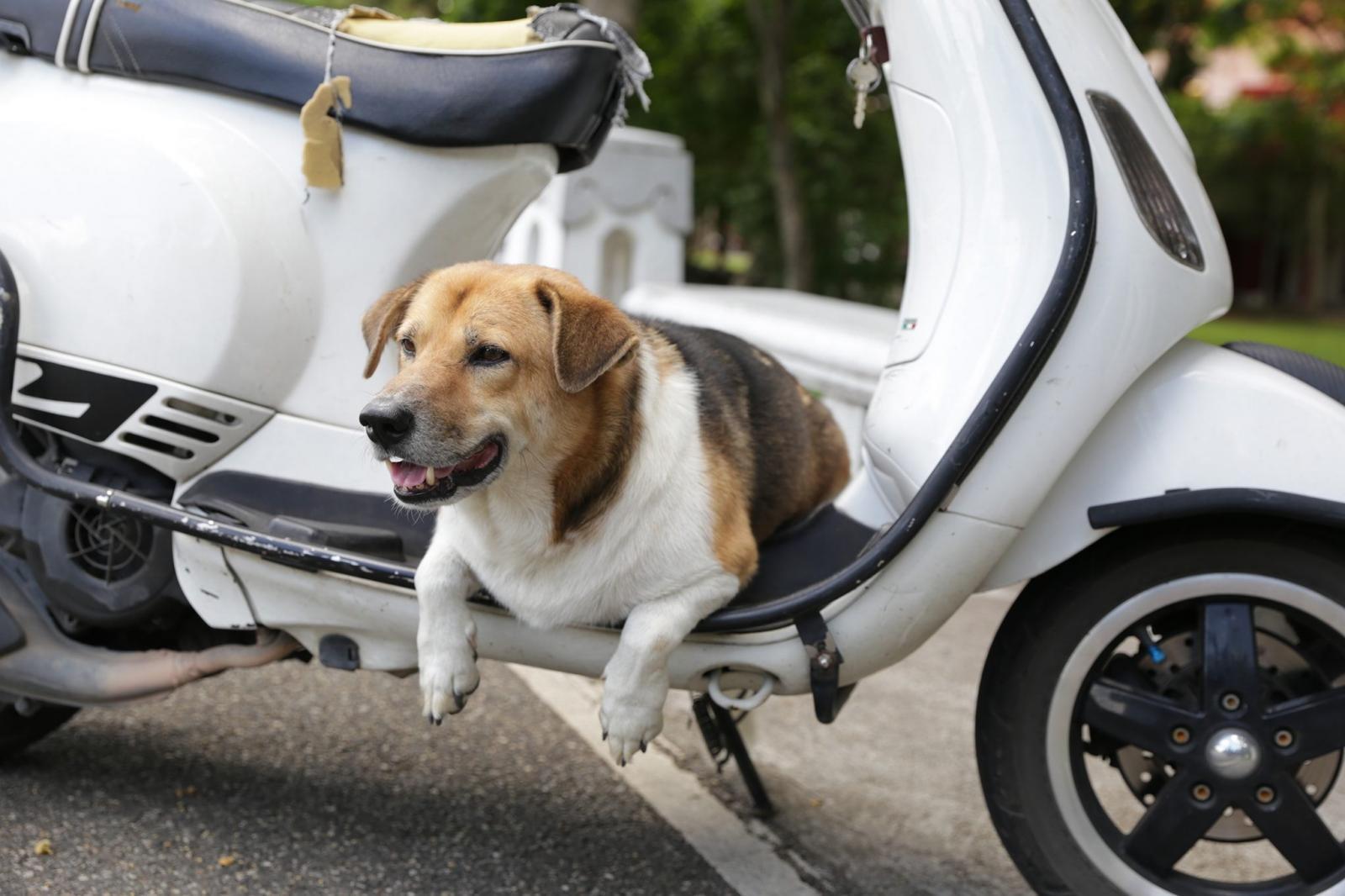 """เผยเบาะแสล่าสุด """"พี่เตี้ย มช."""" สุนัขขวัญใจ ม.เชียงใหม่ ใครเจอตัวส่งคืนให้ 10,000 บาท"""