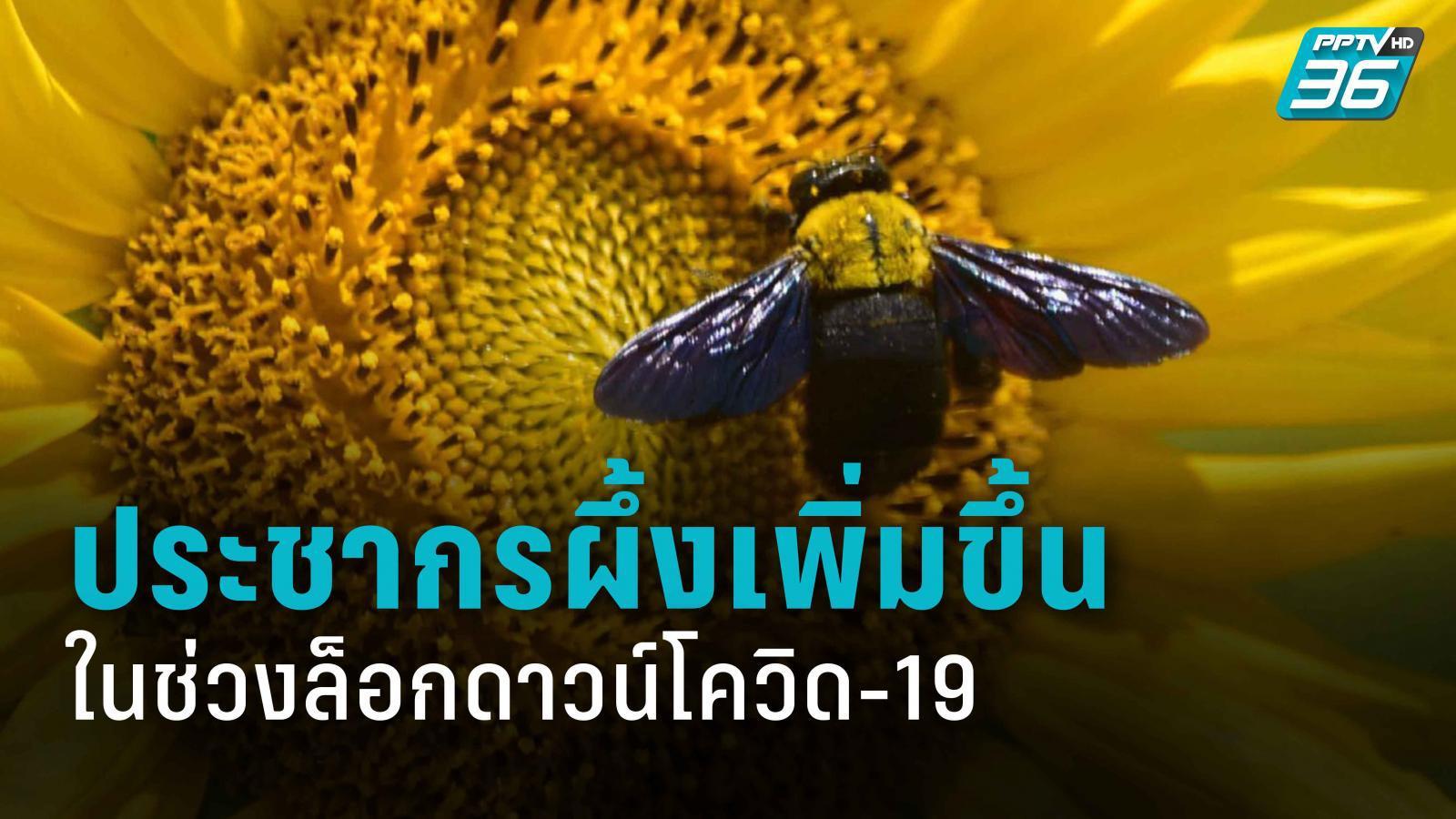 โลกของผึ้ง ในช่วงล็อกดาวน์ สกัด โควิด-19