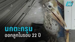 """""""นกตะกรุม"""" สัตว์ใกล้สูญพันธุ์ ออกลูกในรอบ 22 ปี"""