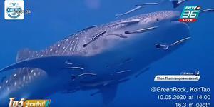 """""""ฉลามวาฬ"""" อวดโฉมทักทายนักดำน้ำใต้ทะเลเกาะเต่า"""