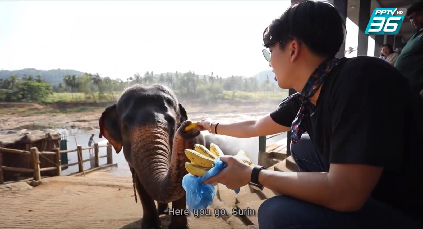 บ้านช้างกำพร้า Pinnawala Elephant Orphanage ศรีลังกา