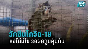 สัญญาณดี วัคซีนโควิด-19 ลิงไม่มีไข้ รอผลภูมิคุ้มกัน