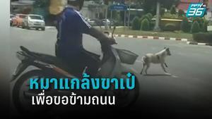สุดแสบ น้องหมาแกล้งขาเป๋ เพื่อขอข้ามถนน