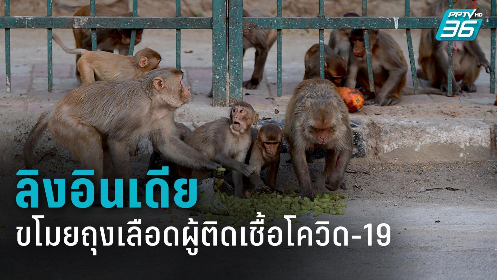 ลิงในอินเดียขโมยตัวอย่างเลือดผู้ติดเชื้อโควิด-19