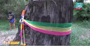 ขอหวยเลขเด็ด ชาวบ้าน ใช้ก้อนดินทุบตอตะเคียนยักษ์ อายุกว่า 800 ปี