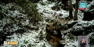 จีนเผยถ่ายภาพแพนด้าป่าในอุทยานฯ ได้บ่อยขึ้น