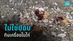 ปศุสัตว์ คาด ตะกวด-พังพอน ฆ่าไก่ชาวบ้านกินเครื่องใน ไม่ใช่ผีปอบ