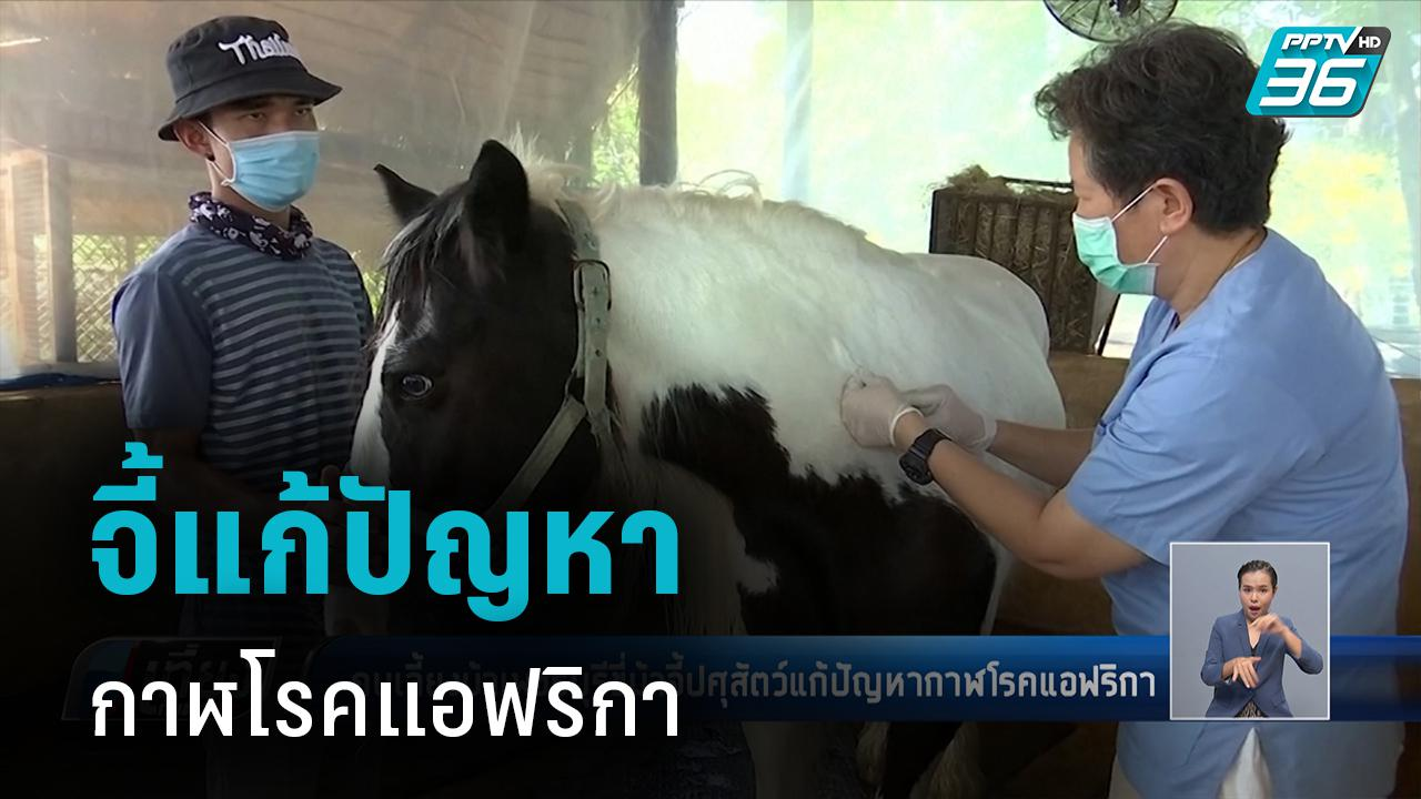 คนเลี้ยงม้าเพชรบุรี ขี่ม้าจี้ปศุสัตว์แก้ปัญหากาฬโรคแอฟริกา