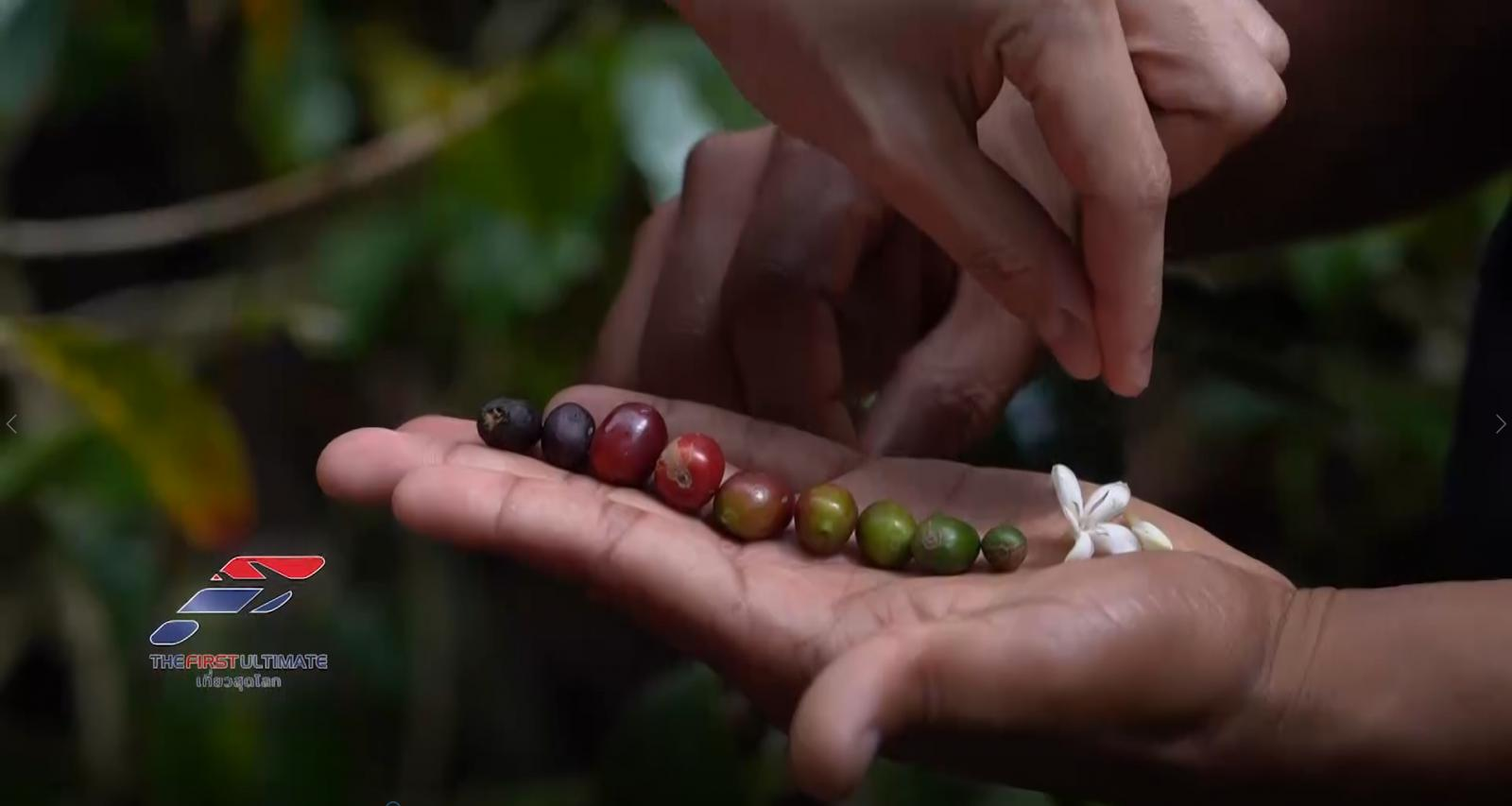 ตะลุยปานามา ค้นหากาแฟแพงที่สุดในโลก