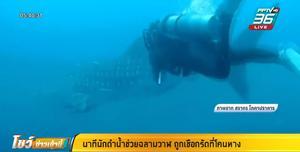 นาทีนักดำน้ำช่วยฉลามวาฬ ถูกเชือกรัดที่โคนหาง