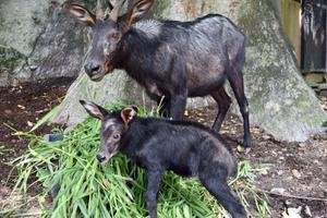 """สวนสัตว์เปิดเขาเขียวได้สมาชิกใหม่ลูก """"เลียงผา""""สัตว์ป่าหายาก"""