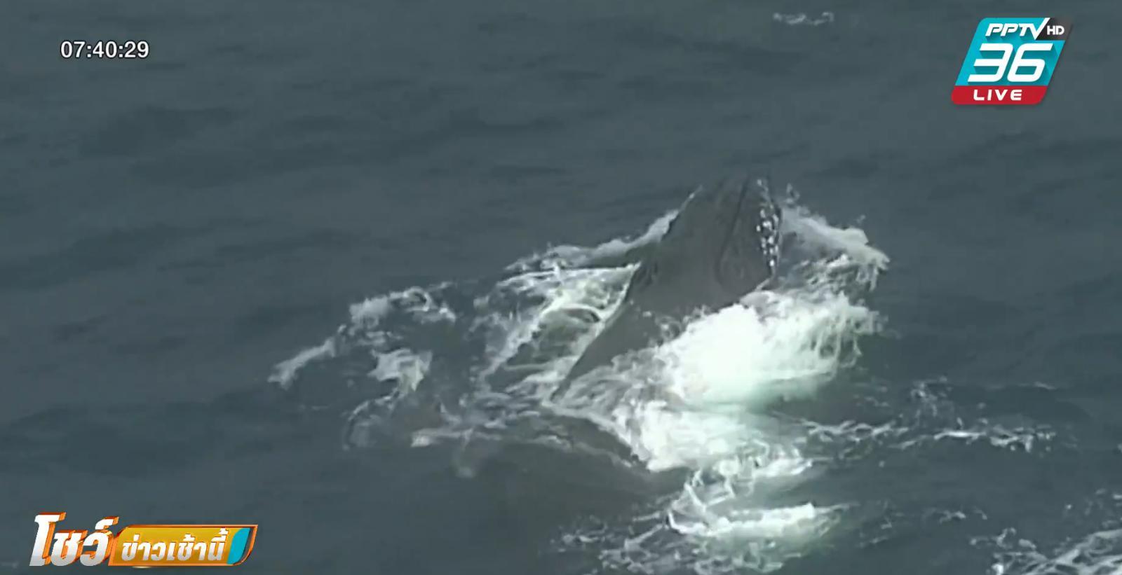 ออสเตรเลีย ช่วยวาฬติดตาข่ายป้องกันฉลาม